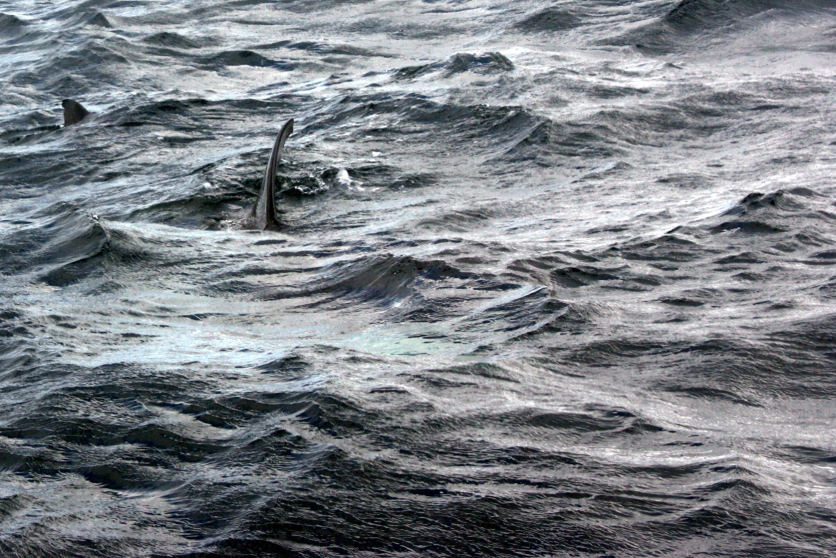 basking shark close